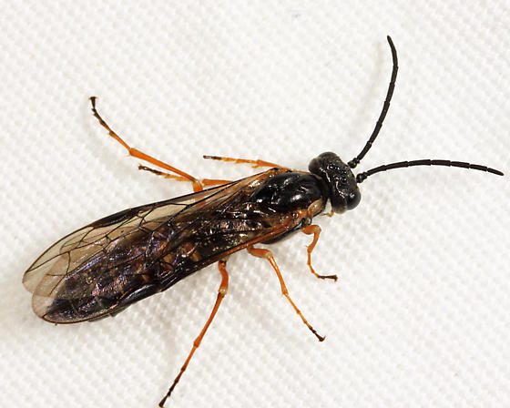 sawfly - Strongylogaster impressata