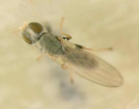 Chamaemyiidae