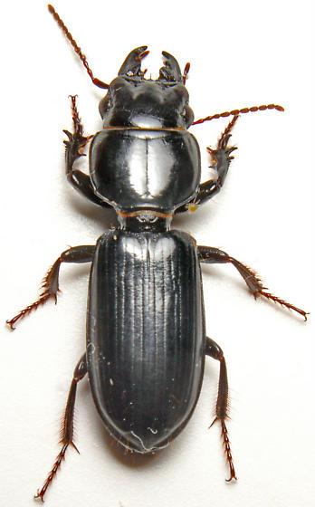 Scarites lissopterus