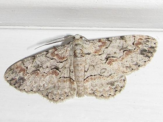 Grometrid moth sp - Iridopsis defectaria - male