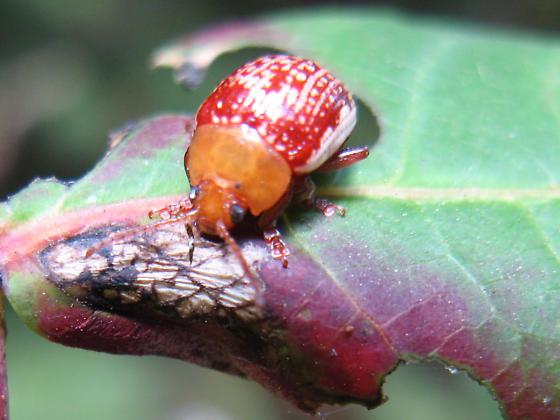Beetle ID? - Blepharida rhois