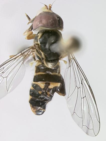 Syrphidae - Toxomerus occidentalis