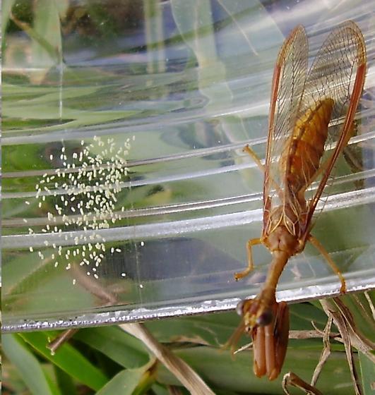 Mantidfly - Entanoneura batesella - female
