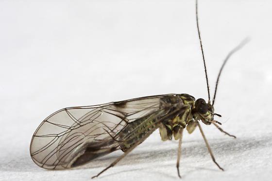Psocopteran of somekind? - Psocus