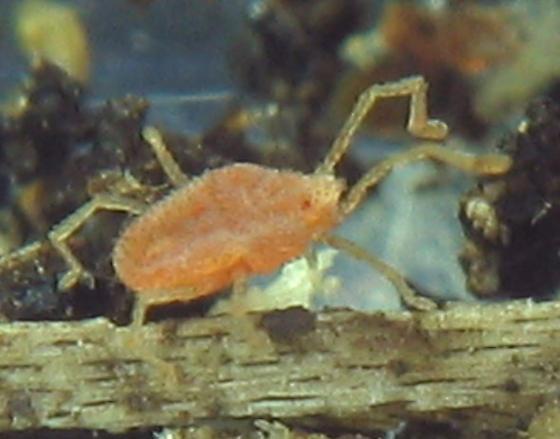 rangy light red mite