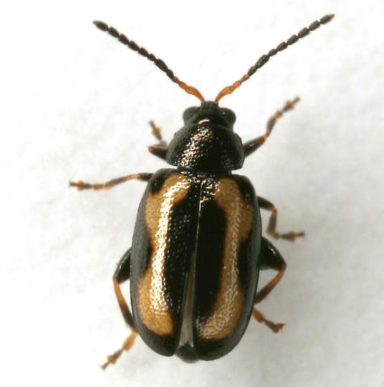 Phyllotreta striolata (Fabricius) - Phyllotreta striolata