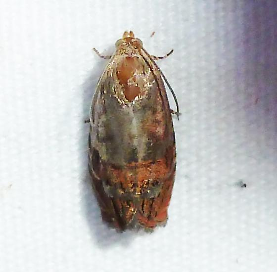 unknown - Cydia latiferreana