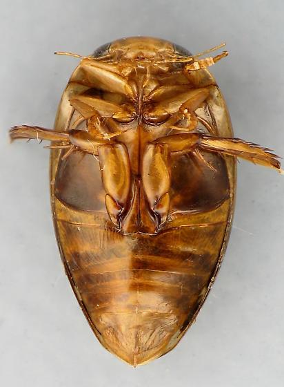 Laccophilus sp. - Laccophilus maculosus