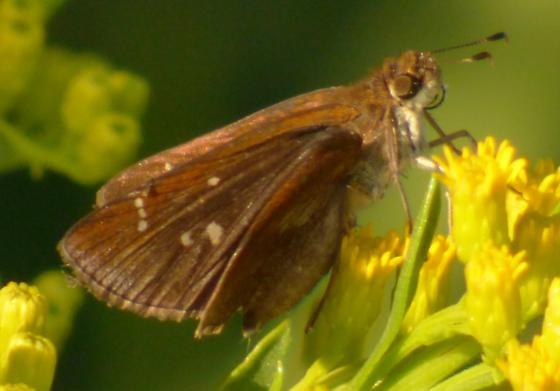 UnknownButterfly90 - Lerema accius