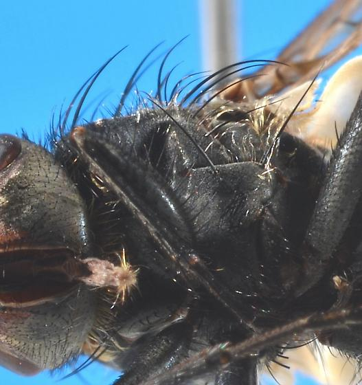 Calliphoridae?  - Pollenia