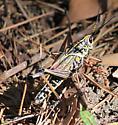 Eastern Lubber Grasshopper - Romalea microptera - male