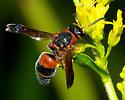 Red and black wasp - Euodynerus boscii - male