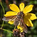 bee fly on tickseed - Poecilanthrax lucifer