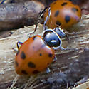 Lady Bug beetles - Hippodamia convergens