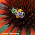 Sweat Bee on Echinacea - Agapostemon virescens - female