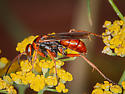 Small Red and Black Spider Wasp? - Tachypompilus ferrugineus - male