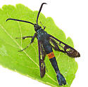 Apple clearwing moth - Synanthedon myopaeformis - male