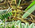 Halloween Pennant (Celithemis eponina) - Celithemis eponina - female