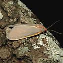 Yellow-edged Pygarctia - Hodges #8255 - Pygarctia abdominalis