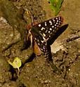 Which Checkerspot? - Euphydryas chalcedona