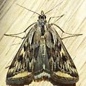 Alfalfa Webworm (Loxostege cereralis) - Loxostege cereralis