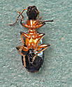 Green metallic beetle - Calleida punctata