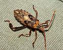 Coreidae, nymph - Leptoglossus clypealis
