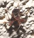 Assassin Bug Nymph - Apiomerus