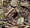 Dark Wood Roach  - Ischnoptera deropeltiformis