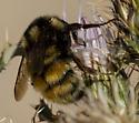 Bumble Bee - Bombus bifarius