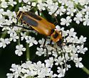 Beetle help please #2 - Chauliognathus pensylvanicus