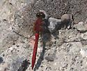 dragonfly - Sympetrum vicinum - male
