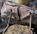 Large metallic wood boring beetle? - Chalcophora fortis