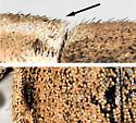 BG2649 E5651 - Naupactus peregrinus