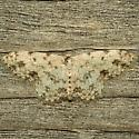 Moth - Scopula plantagenaria