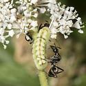 Camponotus pennsylvanicus ? - Formica subsericea