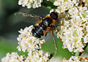 Orange County Bee Fly Archives #288 - Villa