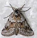 moth - Acopa carina
