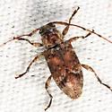 longhorn - Sternidius