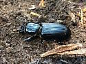 BLUE BEETLE UNDER LOG - Odontotaenius disjunctus