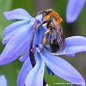 Bee on Scilla siberica - Andrena dunningi - female