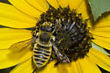 Leaf-cutter Bee - Megachile