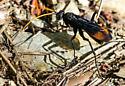 spider wasp - Entypus unifasciatus - male