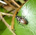 True Bug Nymph - Rhyparochromus vulgaris
