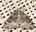 Ecliptopera silaceata – Small Phoenix Moth - Ecliptopera silaceata