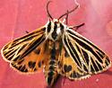 Little Virgin Tiger Moth - Grammia virguncula