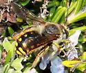 Anthidium male, different? - Anthidium manicatum - male