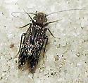 Barklouse  - Echmepteryx hageni
