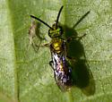 Metallic Bee 2 - Halictinae?