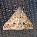 Small Mocis - Mocis latipes